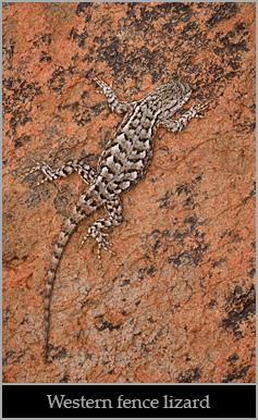 Western fence lizard.
