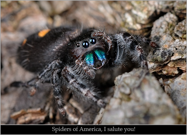 """Daring jumping spider (Phidippus audax) giving a """"salute."""""""