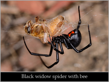 Western black widow spider (Latrodectus hesperus) eating a bee.  Solano County, California.  Stock Photo ID=SPI0203