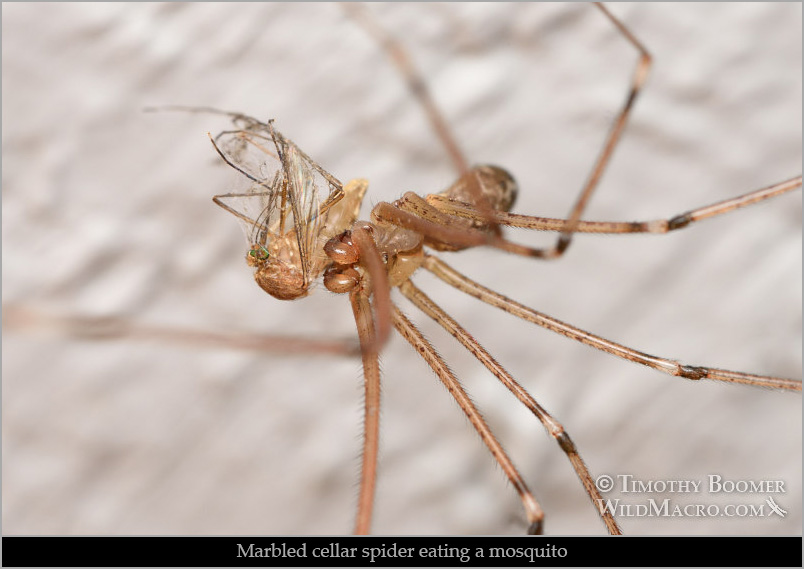 Marbled cellar spider (Holocnemus pluchei) eating a mosquito.  Solano County, California. Stock Photo ID=SCE0277