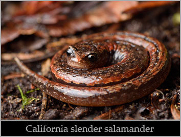 California slender salamander (Batrachoseps attenuatus).