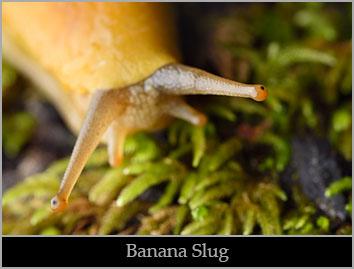 Banana slug.