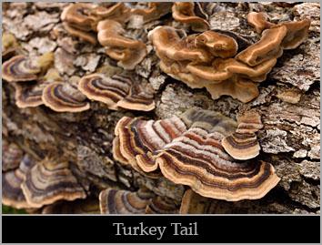 Turkey tail (Trametes versicolor).