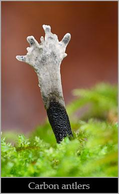 Carbon antlers (Xylaria hypoxylon).