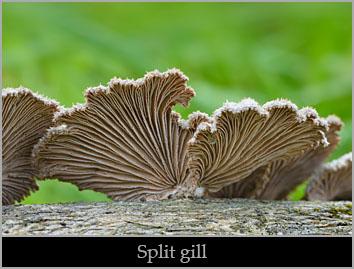 Split gill (Schizophyllum commune).