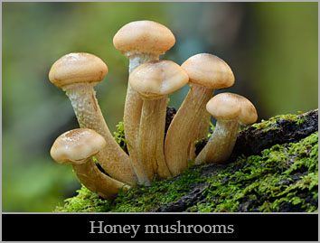 Honey mushroom (Armillaria mellea).