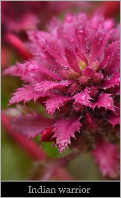 Indian warrior (Pedicularis densiflora).
