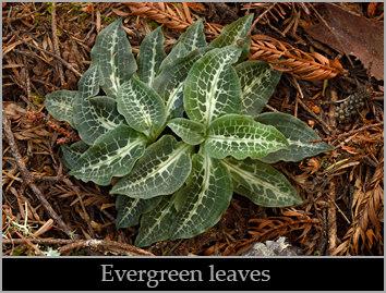 Western rattlesnake plantain (Goodyera oblongifolia) foliage.