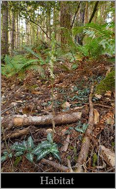 Western rattlesnake plantain (Goodyera oblongifolia), documentary view.