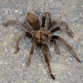 Tarantula (Aphonopelma iodius)
