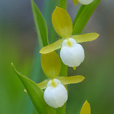 California lady's slipper (Cypripedium californicum)