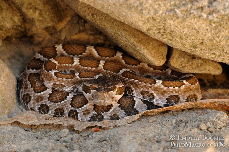 Western rattlesnake (Crotalus viridis). Stebbins Cold Canyon Reserve, Solano County, CA.  Stock Photo ID=ANI0060