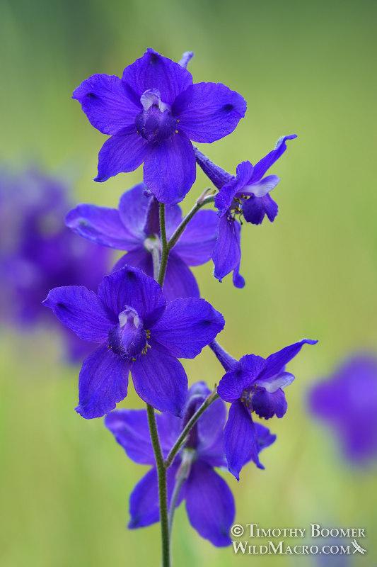 royal larkspur delphinium variegatum ssp variegatum wildflower