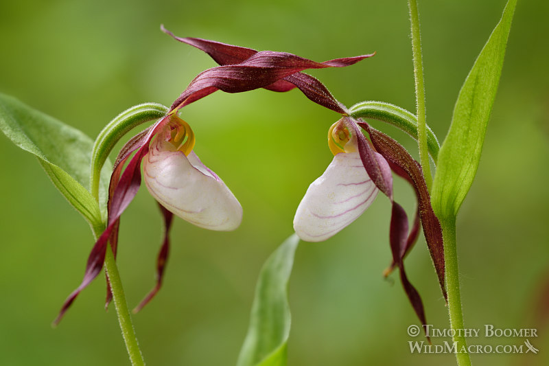 Mountain lady's slipper (Cypripedium montanum). Plumas National Forest, Plumas County, CA.  Stock Photo ID=PLA0366