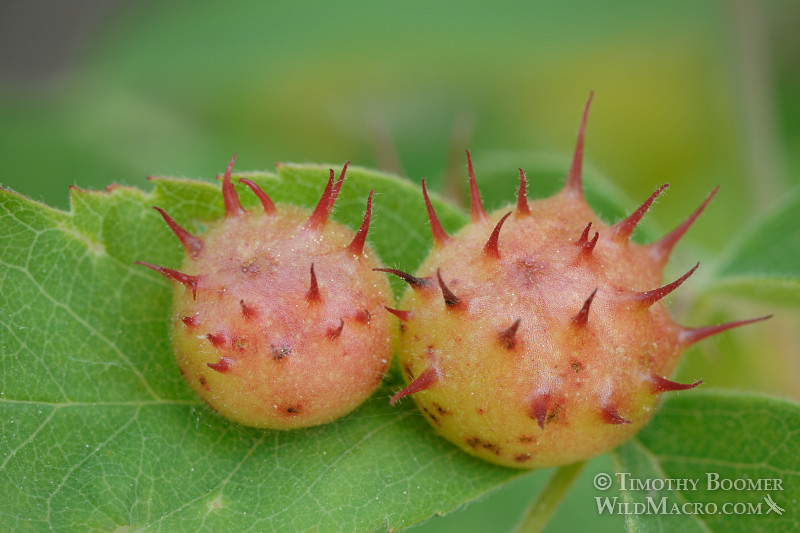 Spiny leaf gall wasp (Diplolepis polita) galls on a rose leaf. Davis, Yolo county, CA. Stock Photo ID=GAL0001