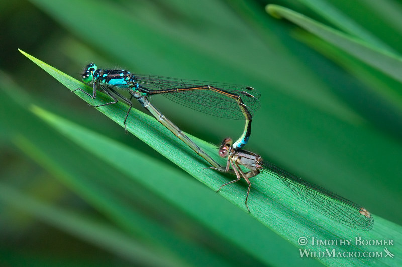 Pacific forktail (Ischnura cervula), pair in mating wheel. Yolo County, CA.  Stock Photo ID=DAM0052