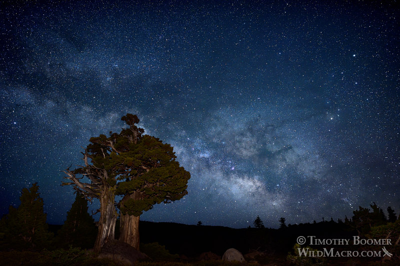 The Milky Way galaxy rises over a Sierra juniper in the Eldorado National Forest.  El Dorado County, California, USA.  Stock Photo ID=SCE0150