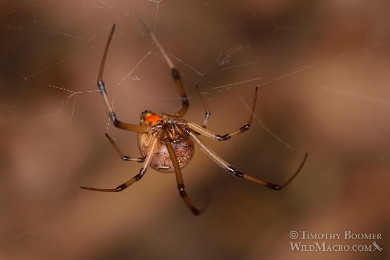 Brown widow spider (Latrodectus geometricus). Los Angeles County, CA.  Stock Photo ID=SPI0250